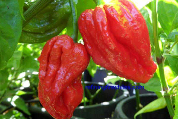 Trinidad 7 Pot 42