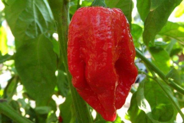 Trinidad 7 Pot Barrackapore 14