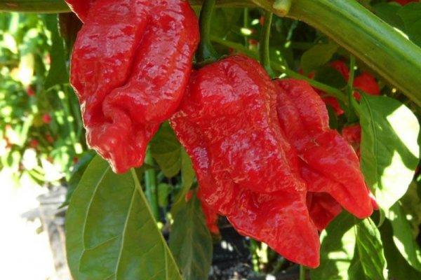 Trinidad 7 Pot Barrackapore 20