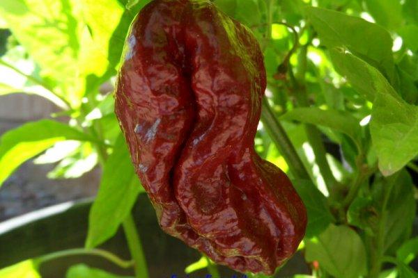 Trinidad 7 Pot Douglah 13