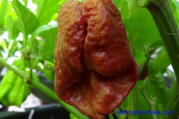 Trinidad 7 Pot Douglah 18