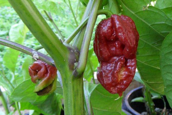 Trinidad 7 Pot Douglah 22