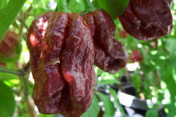 Trinidad 7 Pot Douglah 37