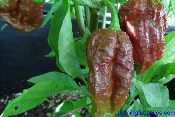 Trinidad 7 Pot Douglah 4