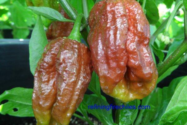 Trinidad 7 Pot Douglah 5