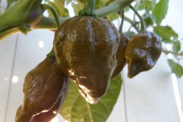 Trinidad Mustard Scorpion 10