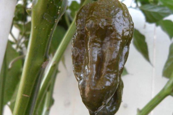Trinidad Mustard Scorpion 13