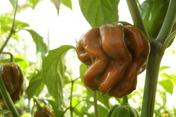 Trinidad Mustard Scorpion 18