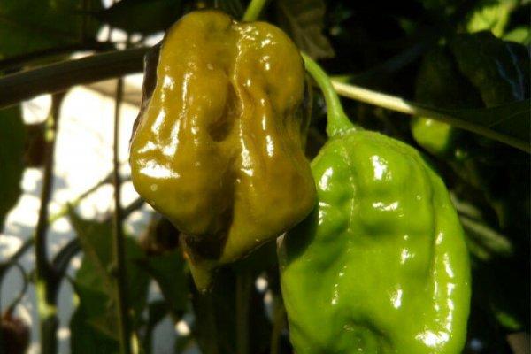 Trinidad Mustard Scorpion 2