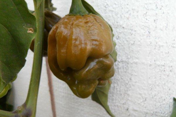 Trinidad Mustard Scorpion 22