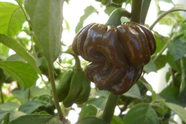 Trinidad Mustard Scorpion 23