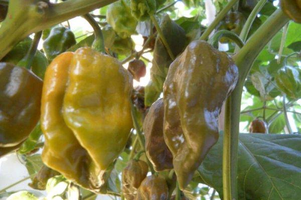 Trinidad Mustard Scorpion 6