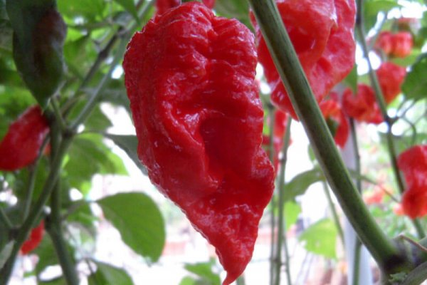 Trinidad Scorpion Large 3