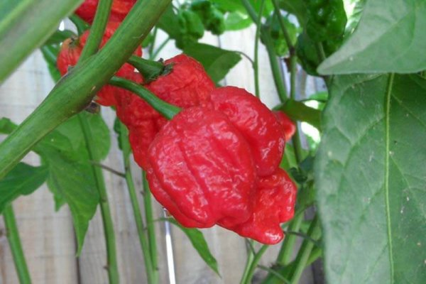 Trinidad Sunrise Scorpion 9