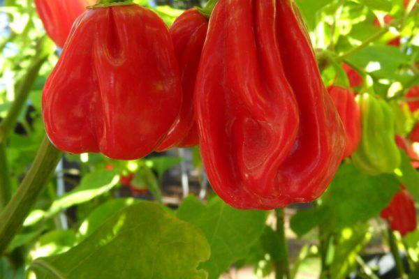 Ugandan Red Habanero 15