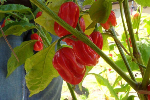 Ugandan Red Habanero 21