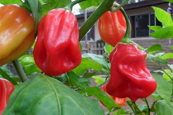 Ugandan Red Habanero 6