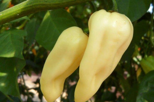 White Bhut Jolokia 13