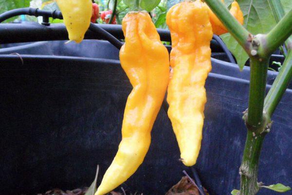Yellow Bhut Jolokia 10