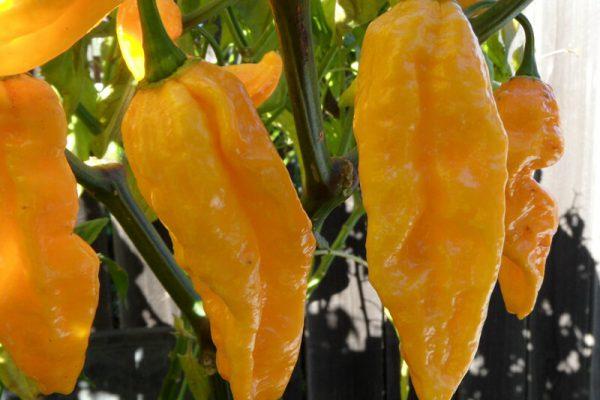 Yellow Bhut Jolokia 14
