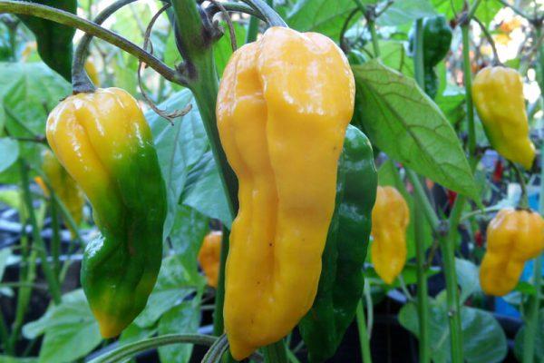 Yellow Bhut Jolokia 20