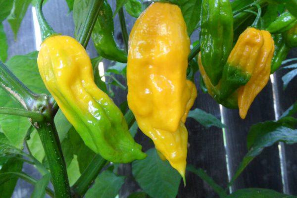 Yellow Bhut Jolokia 30