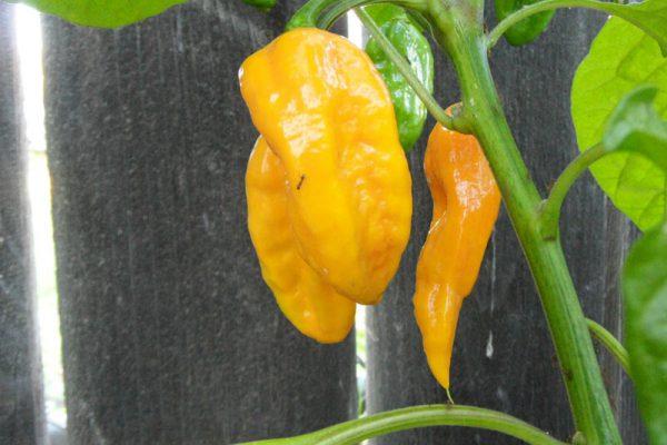 Yellow Bhut Jolokia 34