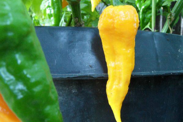 Yellow Bhut Jolokia 36