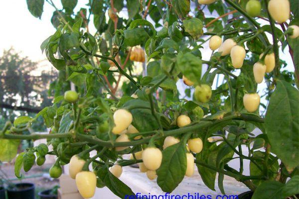 Yucatan White Habanero 3