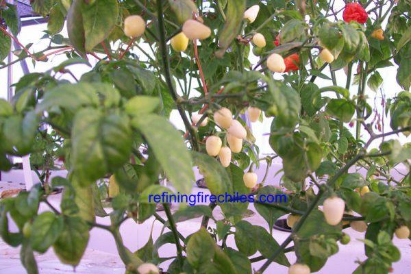Yucatan White Habanero 6