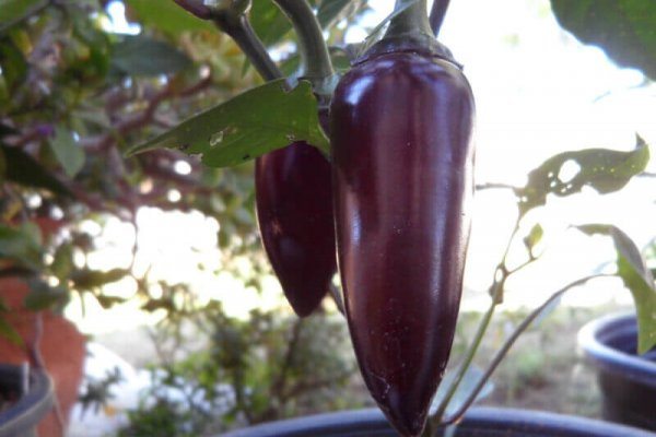 The Purple Jalapeno 8