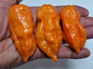 chilesOrangeBhutJolokia11 2019 1